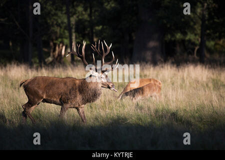 Red deer (Cervus elaphus) stag checking out hinds / females in heat by flicking tongue during the rut in autumn - Stock Photo