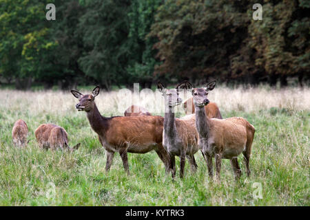Herd of red deer (Cervus elaphus) hinds / females in heat grazing in grassland at forest's edge during the rut in - Stock Photo