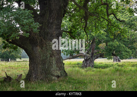 Ancient centuries old English oaks / pedunculate oak trees (Quercus robur) in Jaegersborg Dyrehave / Dyrehaven near - Stock Photo