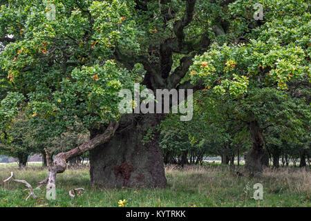 Ancient centuries old English oak / pedunculate oak trees (Quercus robur) in Jaegersborg Dyrehave / Dyrehaven near - Stock Photo