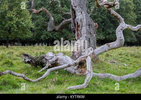 Huge branch broken off from old English oak / pedunculate oak tree (Quercus robur) in Jaegersborg Dyrehave / Dyrehaven - Stock Photo