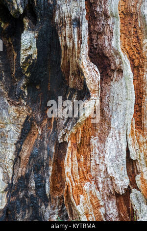 Close up of rotten and partially burned / charred wood of English oak / pedunculate oak tree (Quercus robur), habitat - Stock Photo