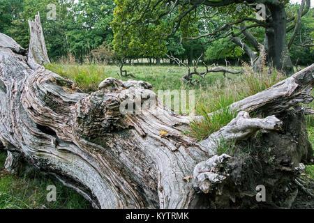 Fallen old English oak / pedunculate oak tree (Quercus robur) in Jaegersborg Dyrehave / Dyrehaven near Copenhagen, - Stock Photo