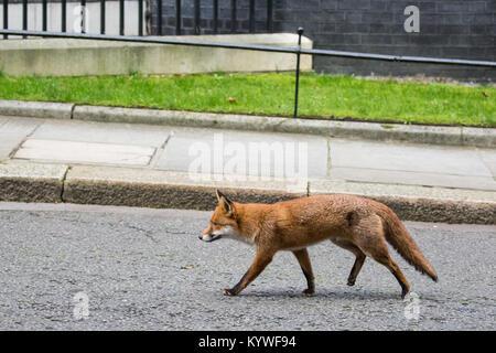 London, UK. 16th Jan, 2018. An urban fox takes a short cut through Downing Street. Credit: Mark Kerrison/Alamy Live - Stock Photo