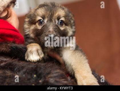 Little scared puppy from the shelter in the hands of women - Stock Photo