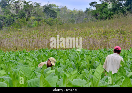 Valle de Vinales, CUBA - FEBRUARY 17: Unidentified Men working on Cuba tobacco plantation.Traditional techniques - Stock Photo
