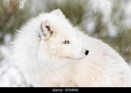 Arctic fox with winter fur, looking to the right, close- up with snow and bushes in the background. Male animal. - Stock Photo