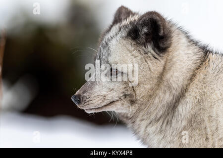 Gray arctic fox, female with winter fur, suspected to be a hybrid due to the dark color. Looking to the left, soft - Stock Photo