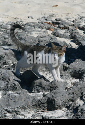 Cat on small black rocks formation on dry beach, Zanzibar, Tanzania. - Stock Photo
