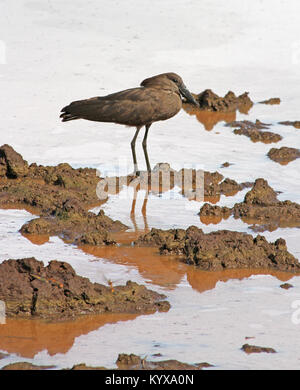 Hamerkop standing in muddy waters (Scopus umbretta), Victoria Falls Private Game Reserve, Zimbabwe. - Stock Photo