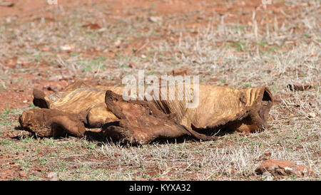 Dead elephant skin remains on ground, Victoria Falls Private Game Reserve, Zimbabwe. - Stock Photo