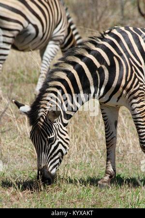 Chapman's zebra (Equus quagga chapmani) at Victoria Falls Private Game Reserve, Zimbabwe. - Stock Photo