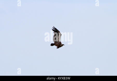 White-backed vulture in flight, Victoria Falls Private Game Reserve, Zimbabwe. - Stock Photo
