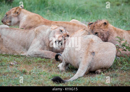 A pride of lions feeding on a kill, one female snarling, early morning, high ISO image, Valley camp Mara Naboisho - Stock Photo