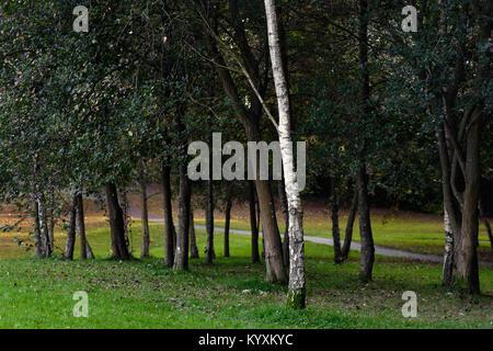 Lonely Birch Tree - Stock Photo