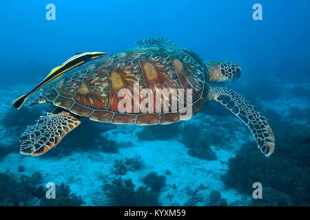 Gruene Meeresschildkroete (Chelonia mydas) auch Suppenschildkroete oder Riesenschildkroete genannt, mit Schiffshalter, - Stock Photo