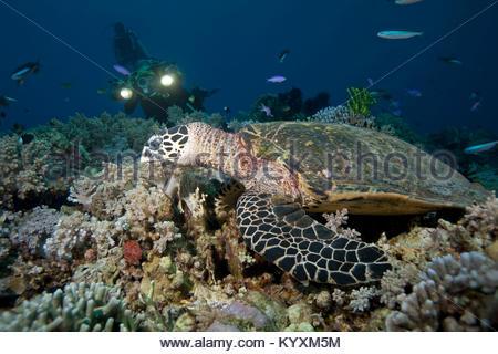 Scuba diver and Hawksbill turtle (Eretmochelys imbricata), Sabang beach, Mindoro island, Philippines, Asia - Stock Photo
