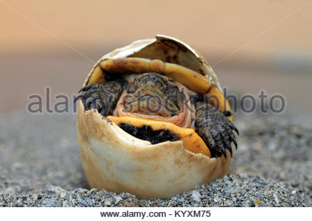 Hatching Green seaturtle (Chelonia mydas), Puerto Galera, Mindoro, Philippines, Asia - Stock Photo