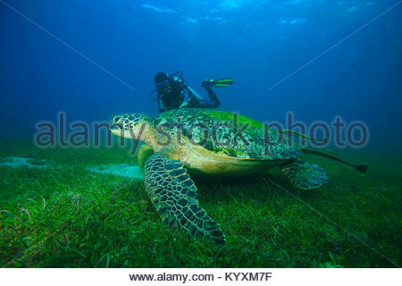 Scuba diver and Green sea turtle (Chelonia mydas) with sucker fish, eelgrass meadow at Sabang beach, Mindoro island, - Stock Photo