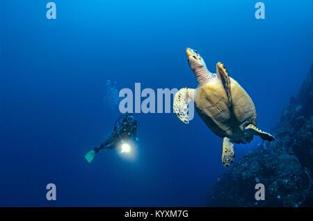 Scuba diver and Hawksbill turtle (Eretmochelys imbricata), Cozumel island, Yucatan, Mexico, Carribean - Stock Photo