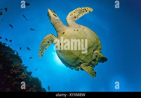 Hawksbill turtle (Eretmochelys imbricata), Maldives islands, Indian ocean, Asia - Stock Photo