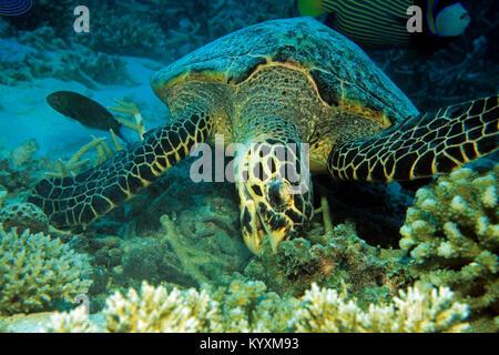 Hawksbill turtle (Eretmochelys imbricata), eating, Maldives islands, Indian ocean, Asia - Stock Photo