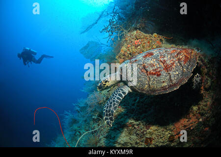 Scuba diver and Hawksbill turtle (Eretmochelys imbricata), Moalboal, Cebu island, Philippines, Asia - Stock Photo