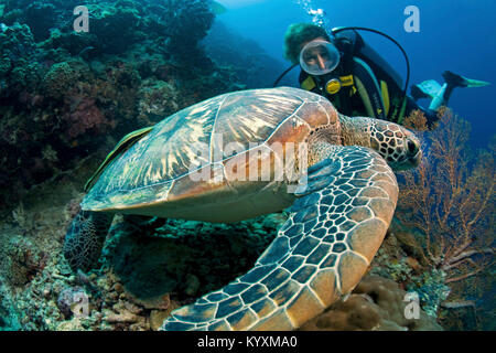 Scuba diver and Green sea turtle (Chelonia mydas), Moalboal, Cebu island, Philippines, Asia - Stock Photo
