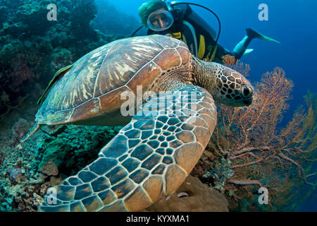 Scuba diver and Green sea turtle (Chelonia mydas), Moalboal, Cebu island, Philippines, Asia - Stock Photo