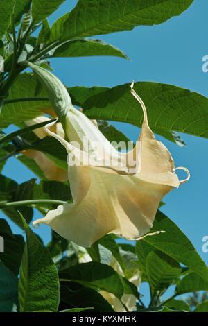 flower and leaves of angel's trumpet, brugmansia arborea, solanaceae - Stock Photo