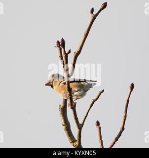 Hawfinch Coccothraustes coccothraustes without tail in winter - Stock Photo