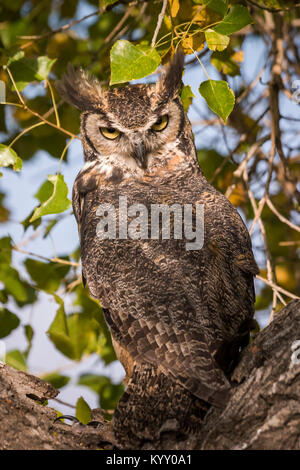 Great Horned Owl (Bubo virginianus) Male great horned owl perched in a tree, captive, Aurora, CO - Stock Photo