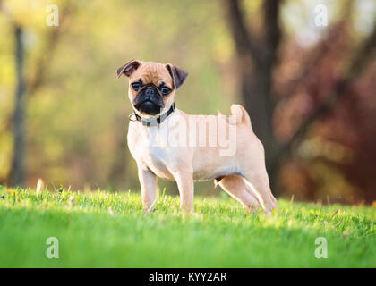 Portrait of pug standing on grassy field at park - Stock Photo
