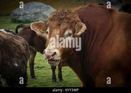 Close-up of one huge brown bull with a nose ring at Scar on Sanday Island, Orkney, UK  In the background is the - Stock Photo