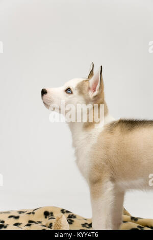 A very cute young Husky dog puppy with piercing blue eyes looks upwards - Stock Photo