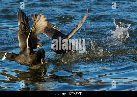 A pair of Coots taking off on Waterloo Lake at Roundhay Park,Leeds,West Yorkshire,England,UK. - Stock Photo