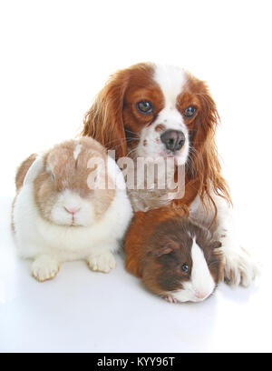Animals together. Real pet friends. Rabbit dog guinea pig animal friendship. Pets loves each other. Cute lovely - Stock Photo