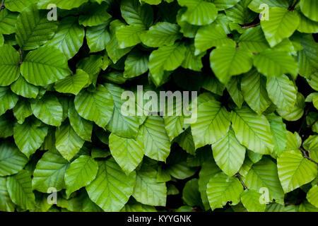 Background from Leaves of European Hornbeam - Stock Photo