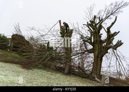 Morrum, Sweden - January 8, 2018: Documentary of everyday life and environment. Arborist high up in a tree on a - Stock Photo