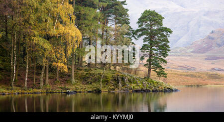 Early autumn colour, on a calm misty morning, in the trees along the shore of Blea Tarn, Lake District, United Kingdom - Stock Photo