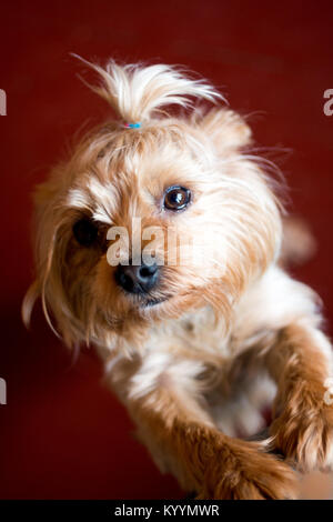 Cute yorkshire terrier with a beautiful hairdo Cute puppy. Terrier with a smart look. A small handsome erzhensky - Stock Photo