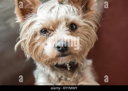 Cute yorkshire terrier with a beautiful hairdo,  close-up, hairdo, look, eyes, moist nose, hair, kind, affectionate, - Stock Photo