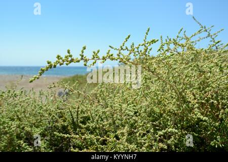 Balancon / Moquini's Traganum (Traganum moquinii) bushes growing on the fringes of a sandy beach, Pozo Negro, Fuerteventura, - Stock Photo