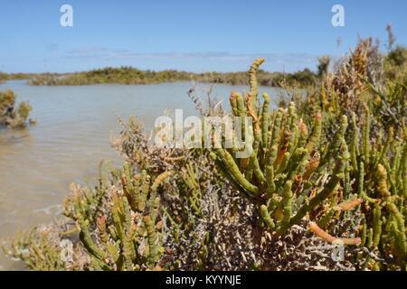 Glaucous glasswort (Arthrocnemum macrostachyum / glaucum) bushes partly submerged by a high tide in a coastal lagoon, - Stock Photo