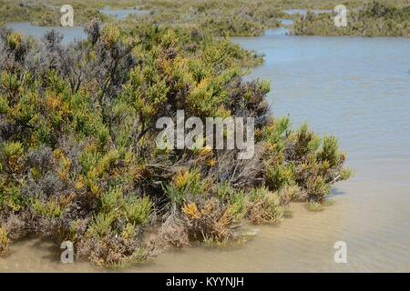 Glaucous glasswort (Arthrocnemum macrostachyum) bushes partly submerged by a high tide in a coastal lagoon, Sotavento, - Stock Photo