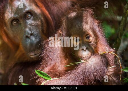 Mother orangutan and cub in a natural habitat. Bornean orangutan (Pongo pygmaeus wurmbii) in the wild nature. Rainforest - Stock Photo