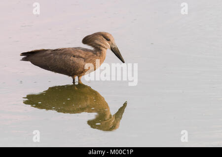 A Hamerkop reflected in a waterhole on the Masai Mara, Kenya - Stock Photo