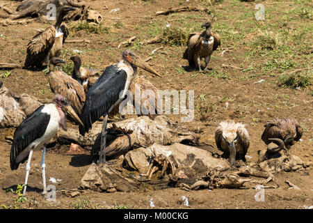 Vultures feast on the carcasses of wildebeest killed at a Mara river crossing during the great migration, Masai - Stock Photo