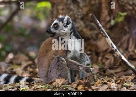 Ring tailed lemur feeding on the forest floor in Isalo National Park, Madagascar - Stock Photo