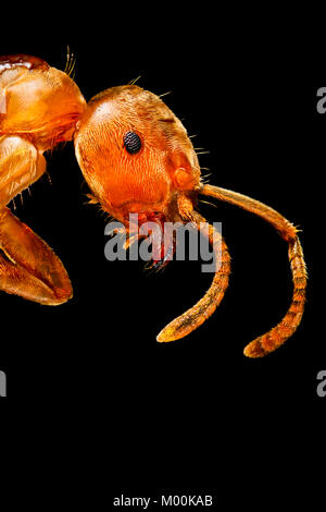An extreme close-up of an English Common Red Garden Ant, showing good detail of the compound eye, antennae and mandible - Stock Photo